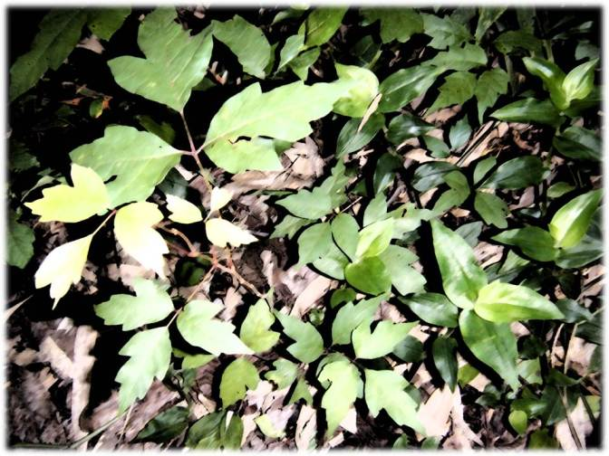 In our back yard, I noticed a clumping of both my summer nemeses, poison ivy (left) and wandering jew. I got itchy just shooting the photo...